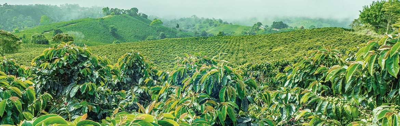 plantacion de café